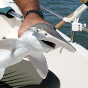 the face of a bonnethead shark