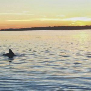 Single dolphin fin sticking out of the calm evening ocean water on Hilton Head Island, South Carolina.
