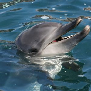 Bottlenose dolphin with it's head out of the water