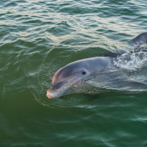 Curious Wild Bottlenose Dolphin swimming