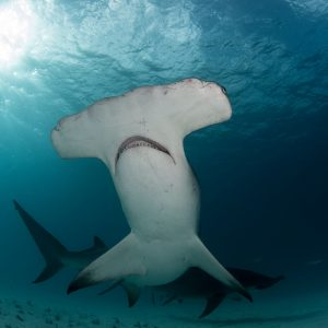 A great hammerhead shark shows her belly.