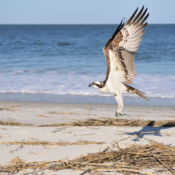 Majestic osprey bringing fish