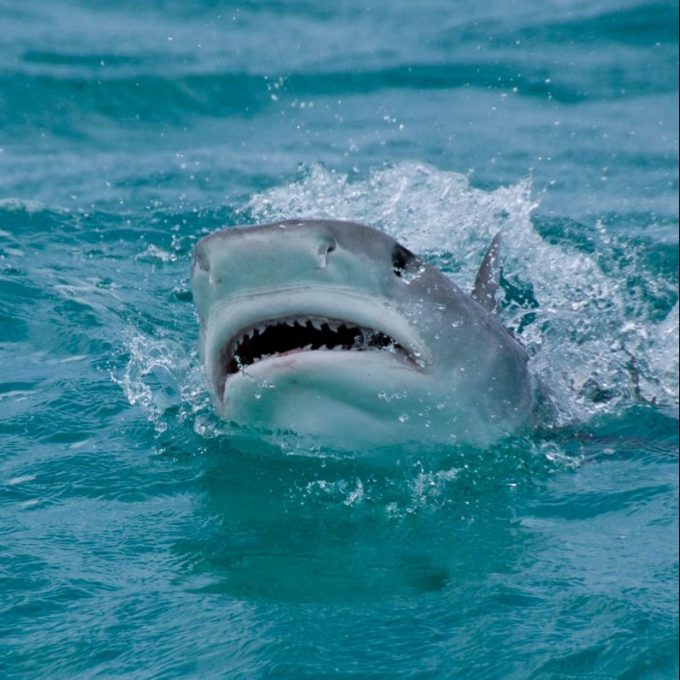 A Tiger Shark jumps out of the water.